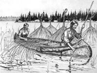Ojibwa harvest wild rice