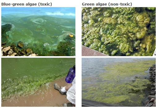 Showing blue-green algae on left and green algae on the right