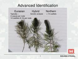 Eurasian Water Milfoil Identification Photo